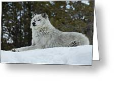 Wolf - Peaked Interest Greeting Card