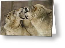 Wolf Display Greeting Card