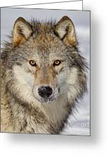 Wolf Face To Face Greeting Card