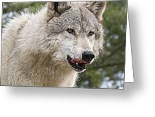Wolf Hungry For Dinner. Greeting Card