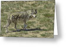 Wolf Greeting Card by Tom Wilbert