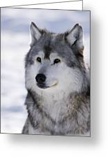 Wolf Winter Portrait Greeting Card