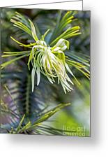 Wollemi Pine Greeting Card