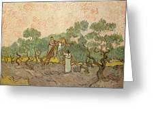 Women Picking Olives Greeting Card