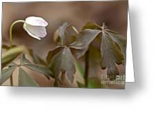 Wood Anemone Wildflower - Anemone Quinquefolia L.  Greeting Card