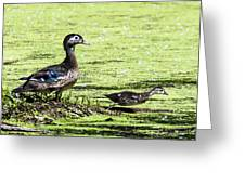 Wood Duck And Baby Greeting Card