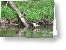 Wood Duck And Mallard Greeting Card