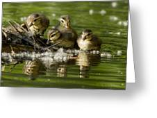 Wood Duck Babies Greeting Card