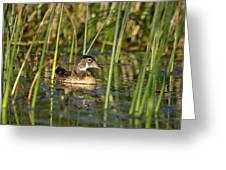 Wood Duck Drake Greeting Card