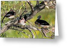Wood Duck Drakes In Tree Greeting Card