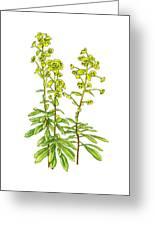 Wood Spurge (euphorbia Amygdaloides) Greeting Card
