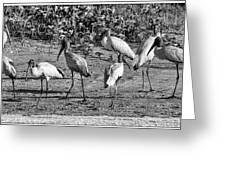 Wood Storks In Black And White Greeting Card
