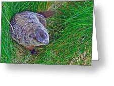 Woodchuck In Salmonier Nature Park-nl Greeting Card