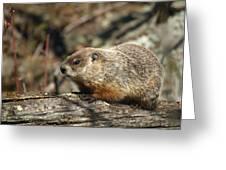 Woodchuck Greeting Card