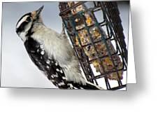 Woodpecker At Suet Iv Greeting Card