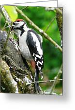 Woodpecker Swallowing A Cherry  Greeting Card