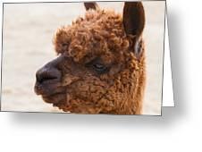 Woolly Alpaca Greeting Card