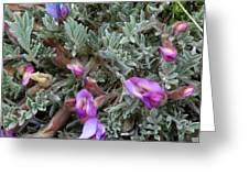Woolly-pod Locoweed Closeup Greeting Card