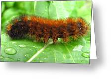 Wooly Bear  Greeting Card