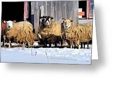 Wooly Sheep In Winter Greeting Card