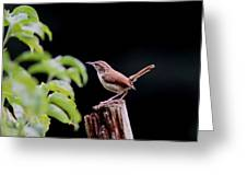 Wren - Carolina Wren - Bird Greeting Card