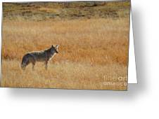 Wylie Coyote Greeting Card
