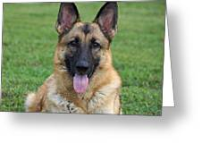 Yahtzee - Beautiful Sable German Shepherd Greeting Card