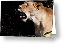 Yawning Lion Greeting Card