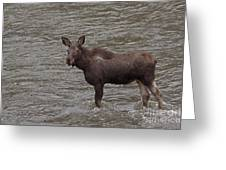 Yearling Moose In The Shoshone River   #1284 Greeting Card