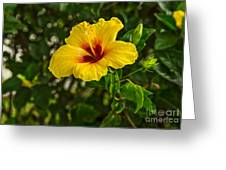 Yellow - Beautiful Hibiscus Flowers In Bloom On The Island Of Maui. Greeting Card