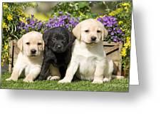 Yellow And Black Labrador Puppies Greeting Card