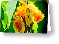 Yellow And Orange Canna Lily Greeting Card