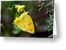 Yellow And Yellow Sulphur Butterfly Greeting Card