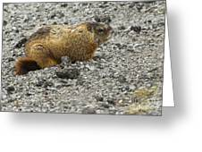 Yellow-bellied Marmot   #5187 Greeting Card