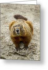 Yellow-bellied Marmot   #5300 Greeting Card