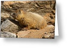 Yellow Bellied Marmot Checking Out The Neighborhood In Rocky Mountain National Park Greeting Card