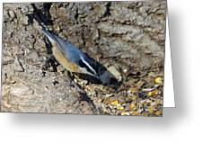 Yellow Bellied Nuthatch Greeting Card