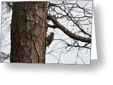 Yellow Bellied Sapsucker In The Pine Greeting Card
