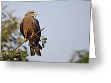 Yellow-billed Kite  Milvus Aegyptius Greeting Card