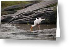 Yellow-billed Stork Fishing In River Greeting Card