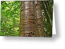 Yellow Birch Near La Chute In Forillon Np-qc Greeting Card