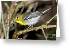 Yellow-breasted Vireo Greeting Card