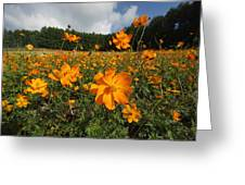 Yellow Cosmos Field In Flower Japan Greeting Card