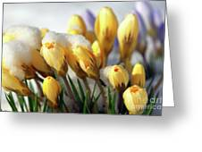 Yellow Crocuses In The Snow Greeting Card