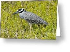 Yellow-crowned Night Heron Greeting Card