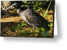 Yellow-crowned Night Heron Eating A Fiddler Crab Dinner Greeting Card