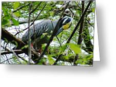Yellow Crowned Night Heron In Display Greeting Card