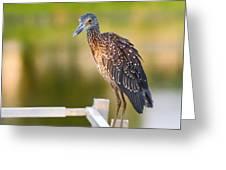 Yellow-crowned Night-heron Portrait Series 3 Greeting Card