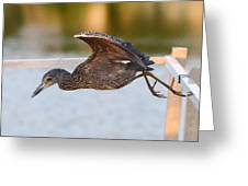 Yellow-crowned Night-heron Portrait Series 7 Greeting Card