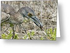 Yellow-crowned Night Heron With Crab Greeting Card